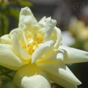 Close up of yellow rose in full bloom on a sunny day in California (Miranda Hernandez)