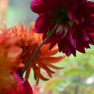 Dahlia flowers at St Katharines's Parmoor, Buckinghamshire, England (Miranda Hernandez)