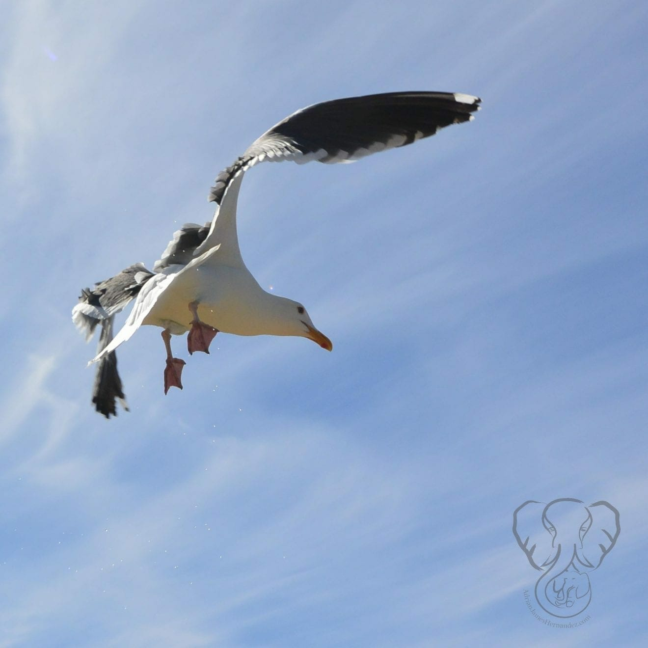A seagull over the Pacific Ocean - Feature