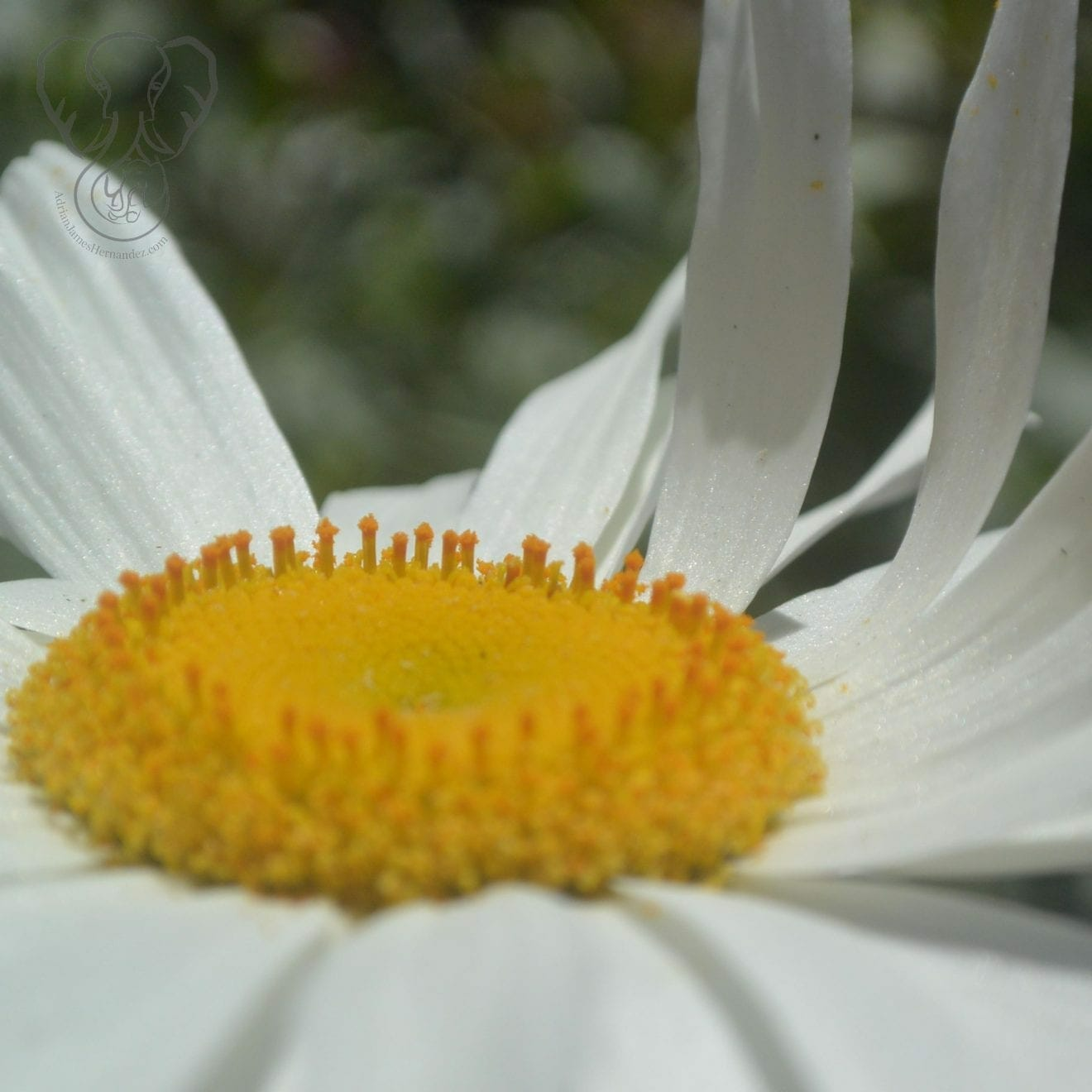 Close up of a daisy (Miranda Hernandez)