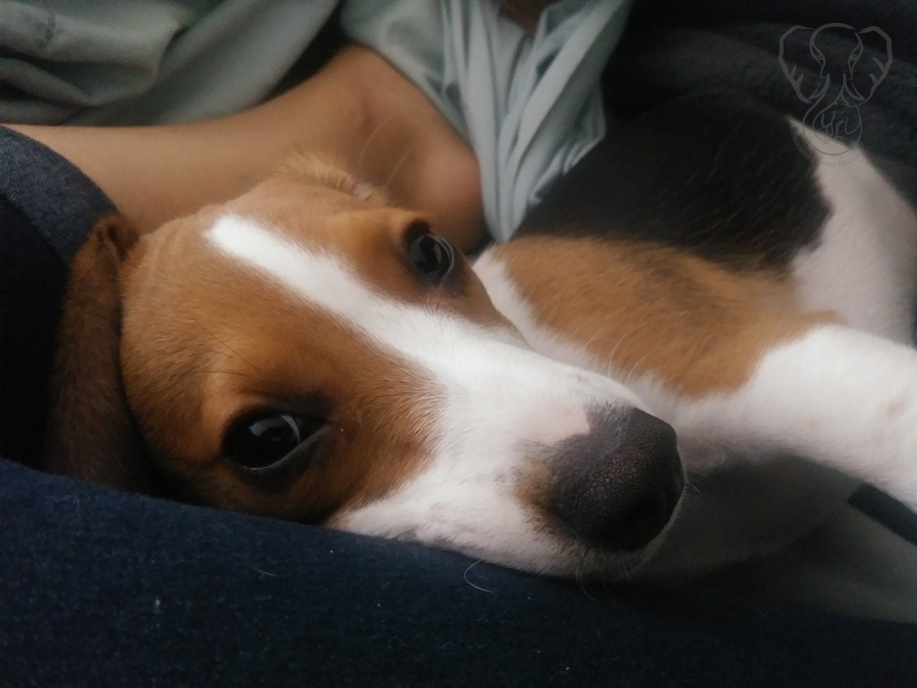 Close up of Charles Xavier in Miranda's lap. Charles is a gorgeous beagle puppy, and he is looking at the camera (Miranda Hernandez)