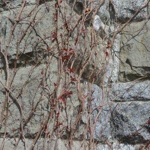 Climbing vines on Hatley Castle, Victoria, British Columbia (Miranda Hernandez)