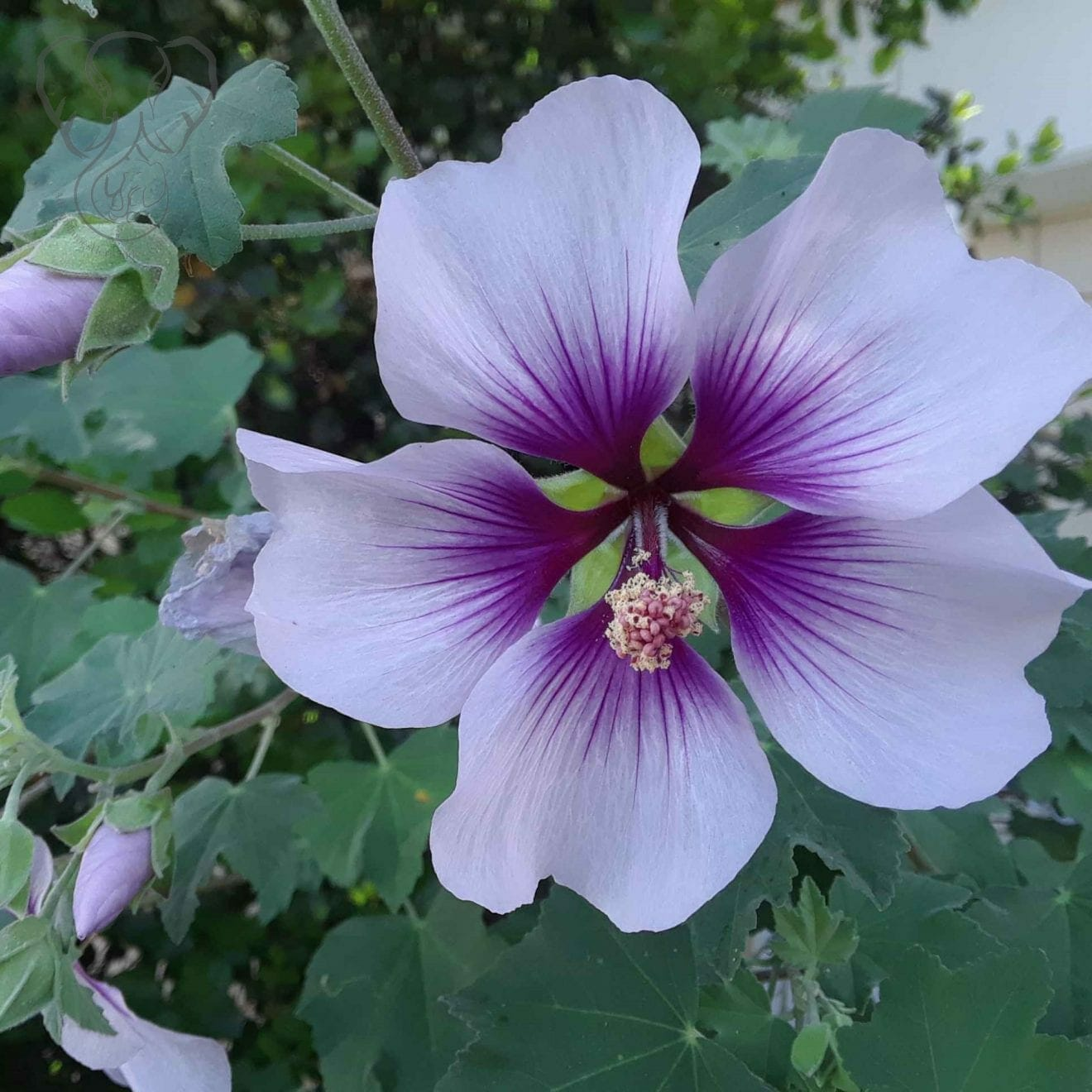 Hollyhock in California (Miranda Hernandez)