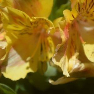 Peruvian lilies in San Juan Capistrano, California (Miranda Hernandez)