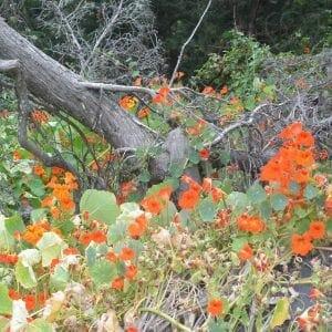 Nasturtium flowers in Big Sur, California (Miranda Hernandez)