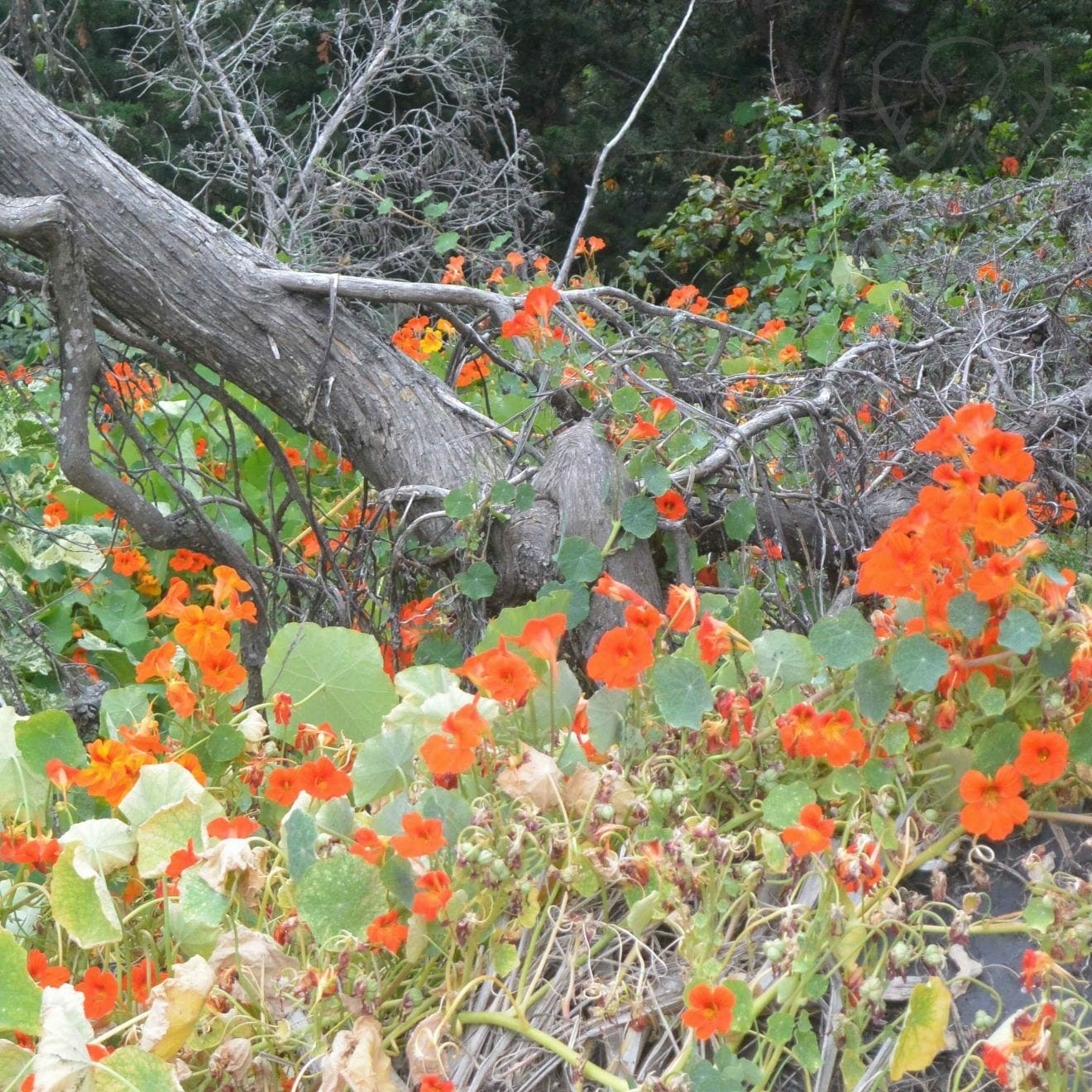 Nasturtium flowers in Big Sur, California (Miranda Hernandez)