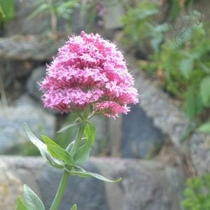Valerian flowers in Big Sur, California (Miranda Hernandez)