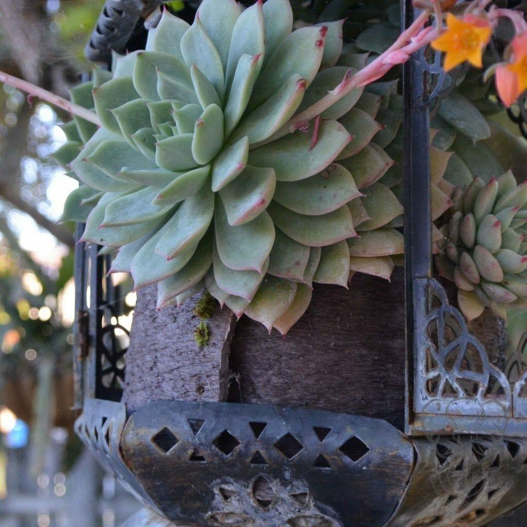 Succulents in San Juan Capistrano, California (Miranda Hernandez)