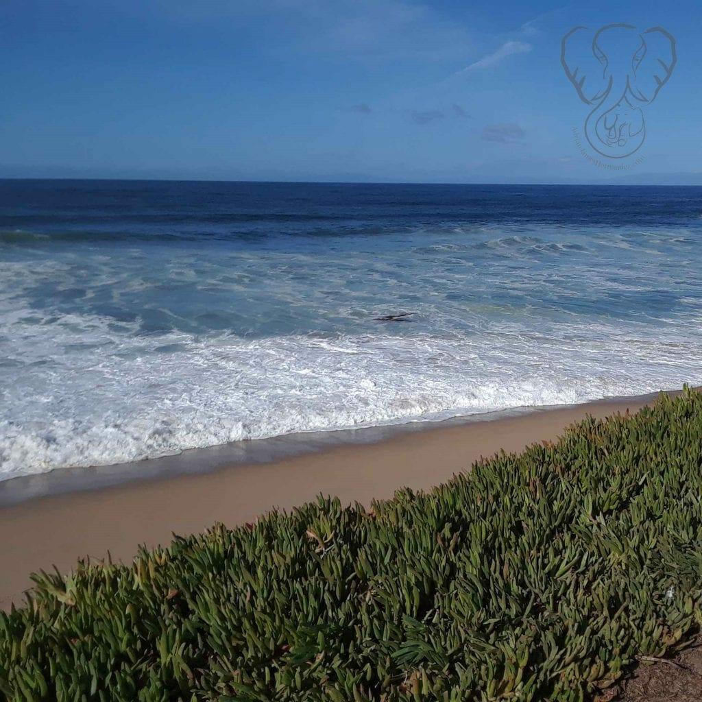 Iceplant on the California coast (Miranda Hernandez)