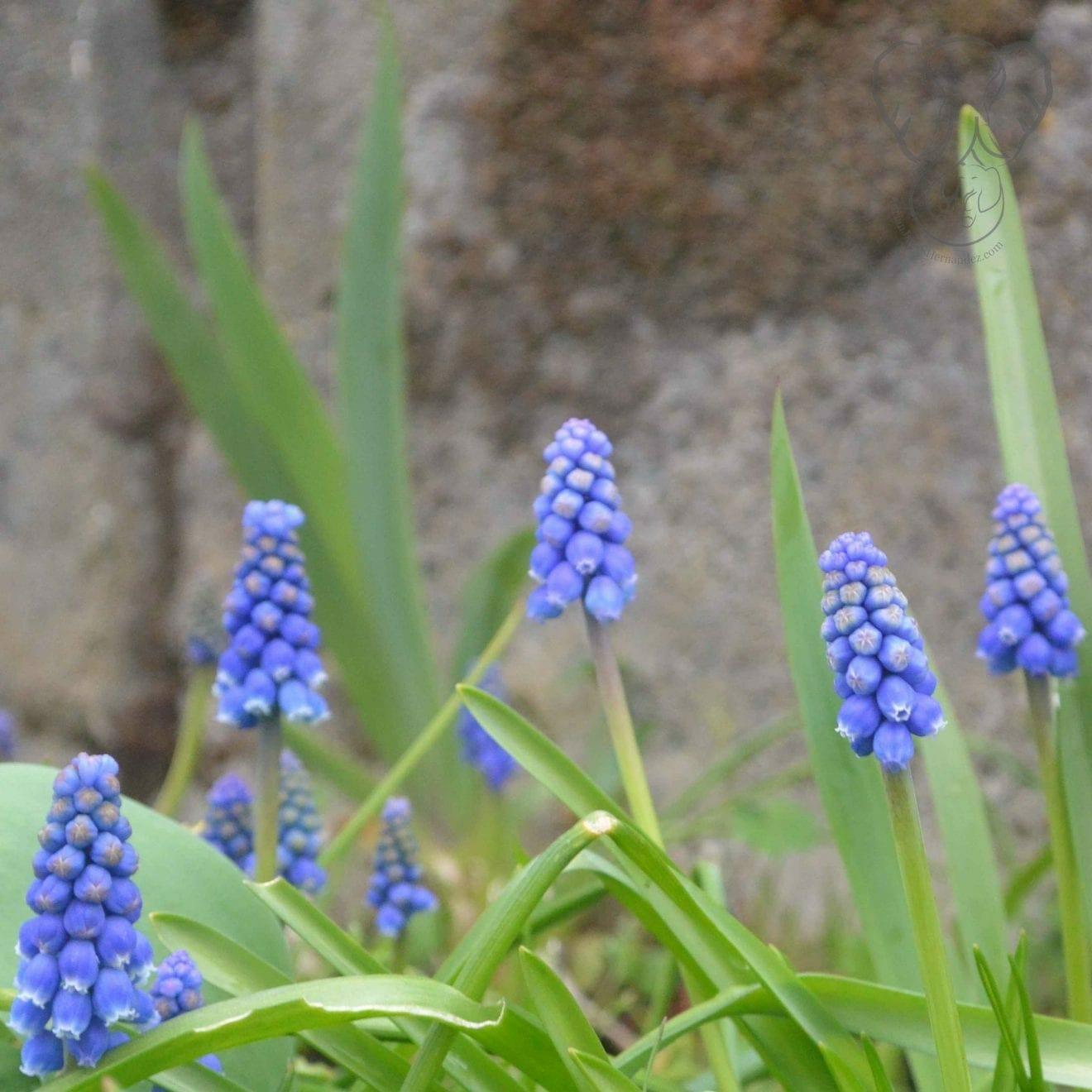 Hyacinth flowers, Victoria, British Columbia (Miranda Hernandez)