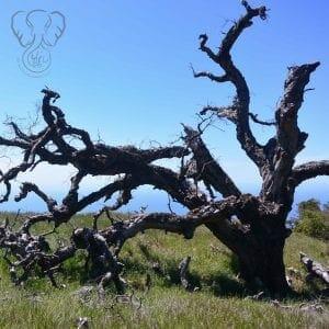 Tree in Big Sur, California (Miranda Hernandez)