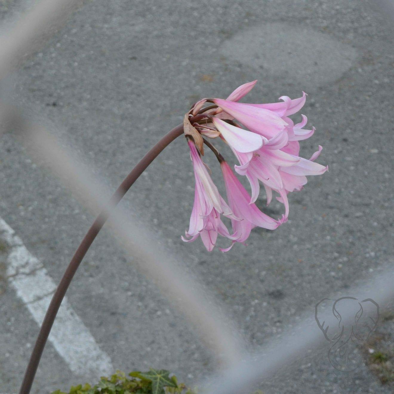 Easter Lily flower (Miranda Hernandez)