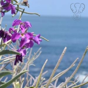Matthiola flowers on the California coast (Miranda Hernandez)