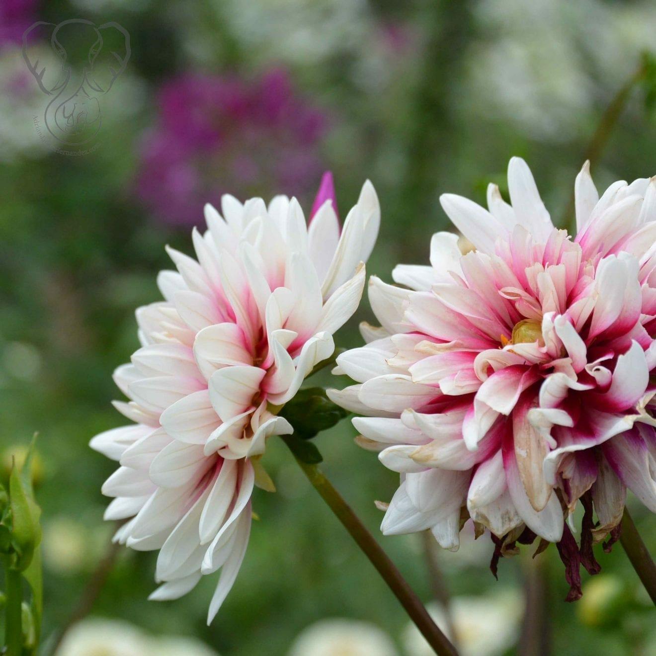 Annual flowers in Assiniboine Park, Winnipeg, Manitoba (Miranda Hernandez)