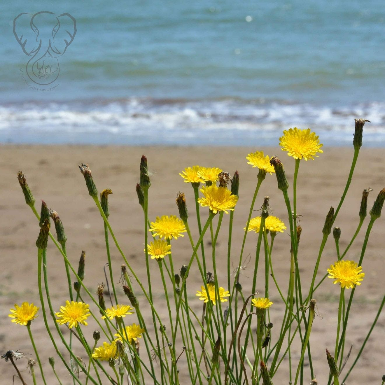 Dandelions over Te Ti Bay, Waitanga, New Zealand (Miranda Hernandez)