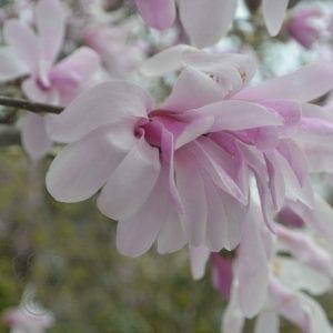 Cherry blossoms in Victoria, British Columbia (Miranda Hernandez)