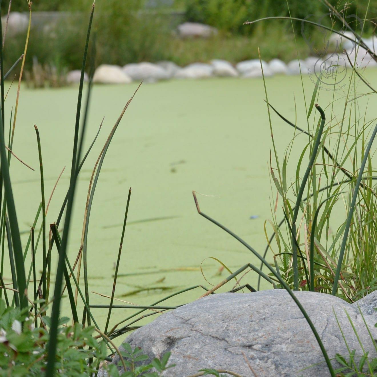 Moss-covered pond water in Assiniboine Park, Winnipeg, Manitoba (Miranda Hernandez)