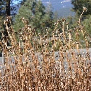 Dried wild plants in North Lake Tahoe, California (Miranda Hernandez)