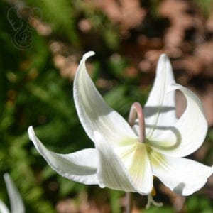 Close up of a white flower with skinny pointed petals, taken in Victoria, British Columbia (Miranda Hernandez)