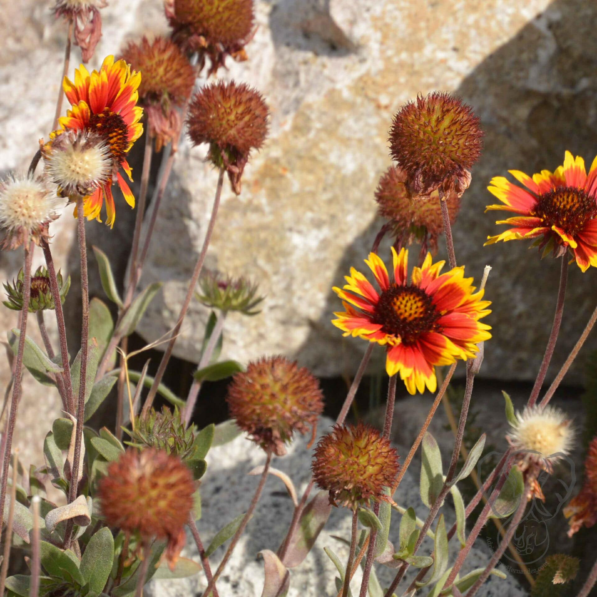 Orange wildflowers at Lake Tahoe (Miranda Hernandez)