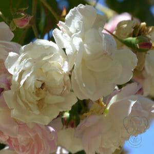 White flowers on a tree (Miranda Hernandez)